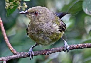 bellbird2